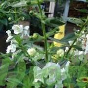 angelonia-angustifolia-angelonie-fleurs-annuelles-soleil-blanche