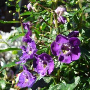 angelonia-angustifolia-angelonie-fleurs-annuelles-soleil