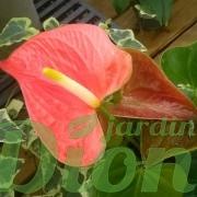 anthurium-andreanum-langues de feu-st-valentin- fleurs-rose et vert