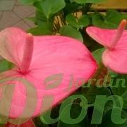 anthurium-andreanum-langues de feu-st-valentin- fleurs-roseet vert