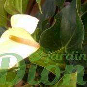 anthurium-sp-flamand rose-st-valentin- fleurs-blanc