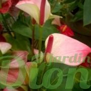 anthurium-sp-flamand rose-st-valentin- fleurs-rouge et vert