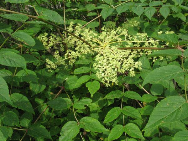 Aralia elata – Fleurs et feuilles