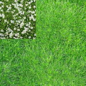 arenaria-verna-mousse-sagine