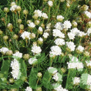 Armeria maritima à fleurs blanches