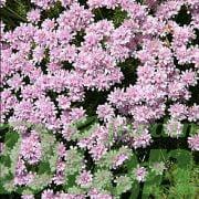 Armeria maritima à fleurs rose pâle