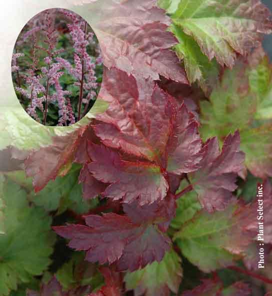 astilbe-arendsii-color-flash.jpg