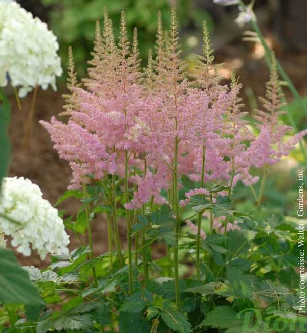 astilbe-chi.vision-in-pink.jpg