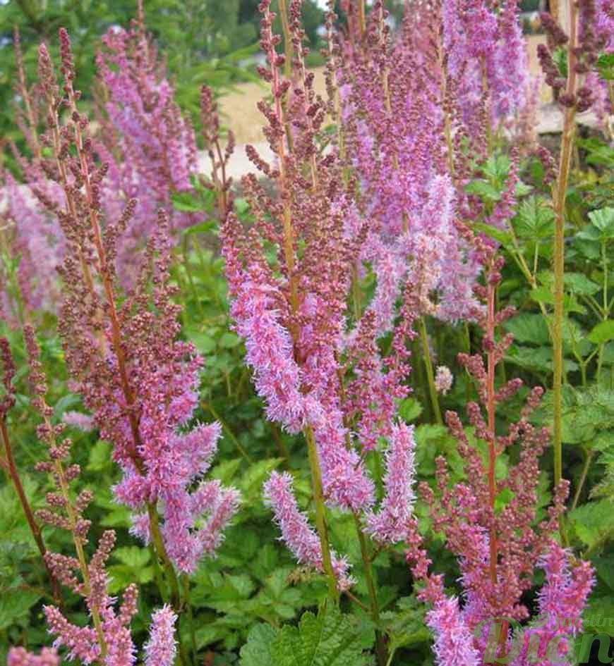 astilbe chinensis taquetii superba | jardin dion