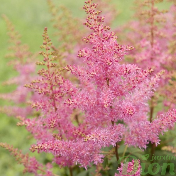 astilbe-younique-lilac.jpg