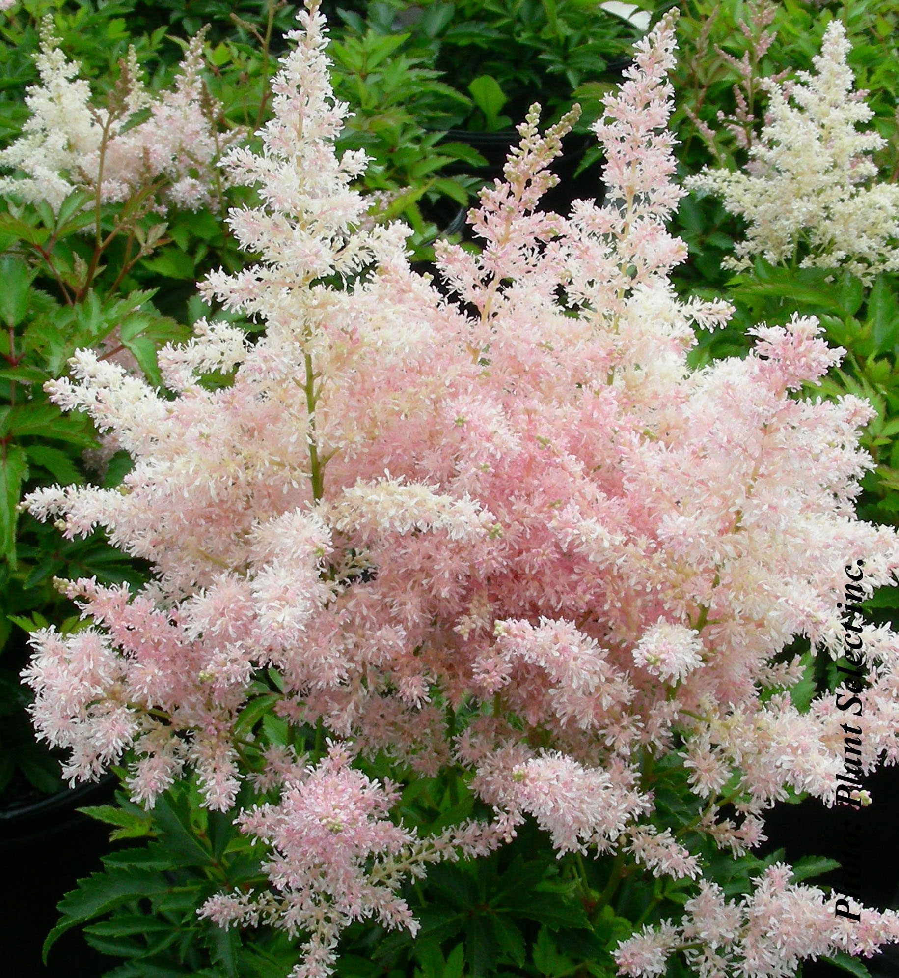 astilbe japonica younique silvery pink | jardin dion