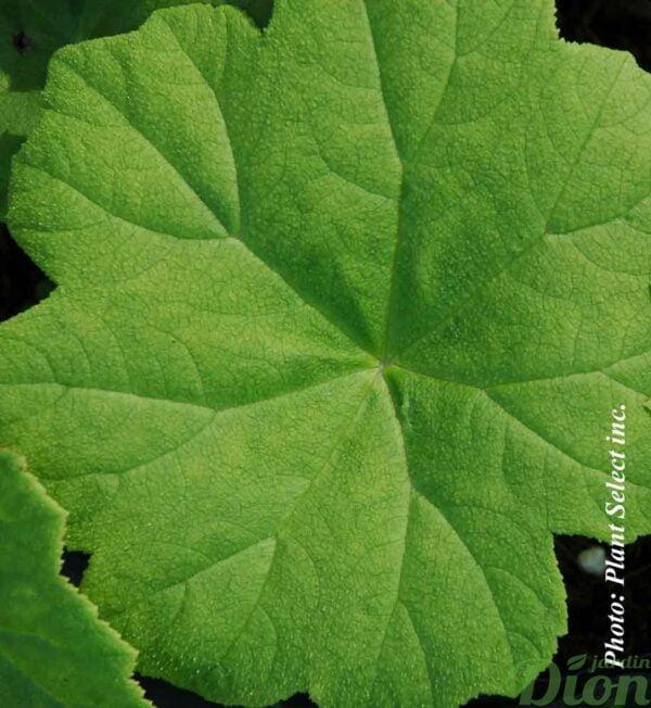 astilboides-tabularis.jpg