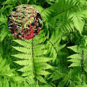 athyrium-a.lady-in-red.jpg