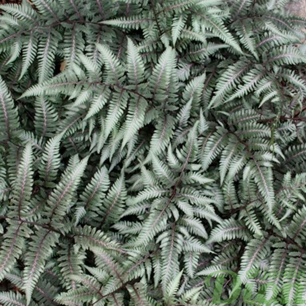 athyrium godzilla jardin dion. Black Bedroom Furniture Sets. Home Design Ideas