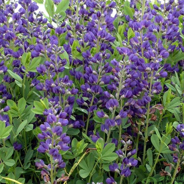 baptisia-australis.jpg