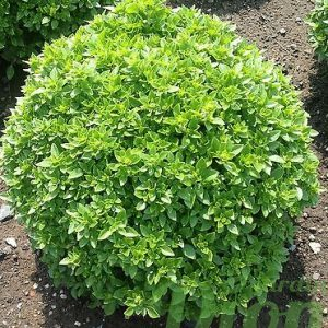 Basilic à petites feuilles