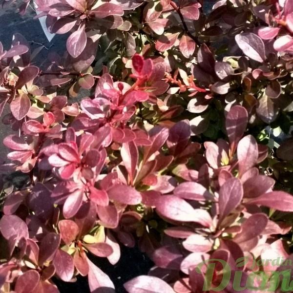 berberis-thunbergii-cherry bomb-épine-vinette