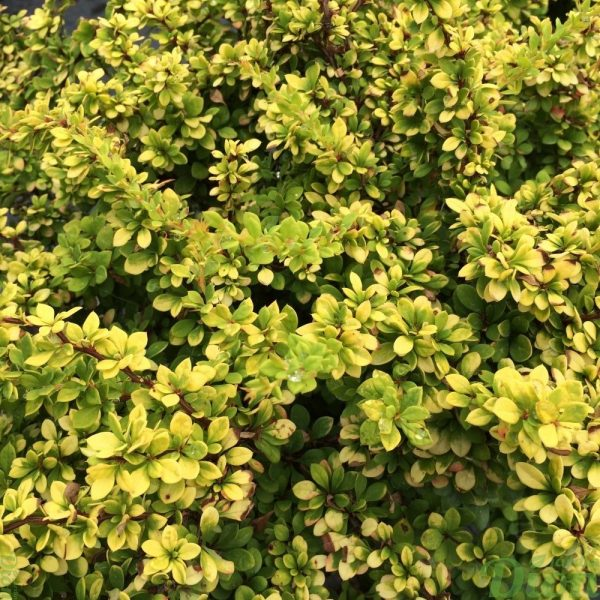 Berberis Monry Sunsation
