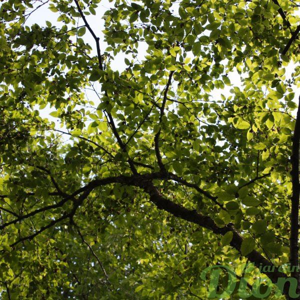 betula-alleghaniensis-bouleau.jaune.arbre