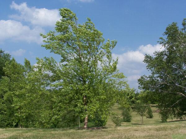 Betula nigra 'Heritage'