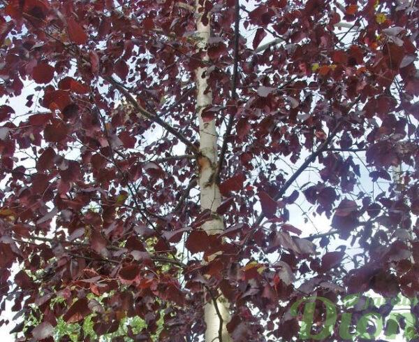 Betula 'Royal frost'