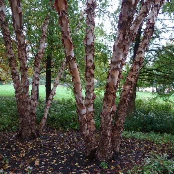 betula.nigra_.heritage.bouleau.noir_.heritage.jpg