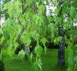 betula.pendula.gracilis.bouleau.pleureur.jpg