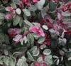 breynia-disticha-roseo-picta-breynie.jpg