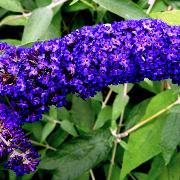 buddleia-adonis-blue-arbre-aux-papillons.jpg