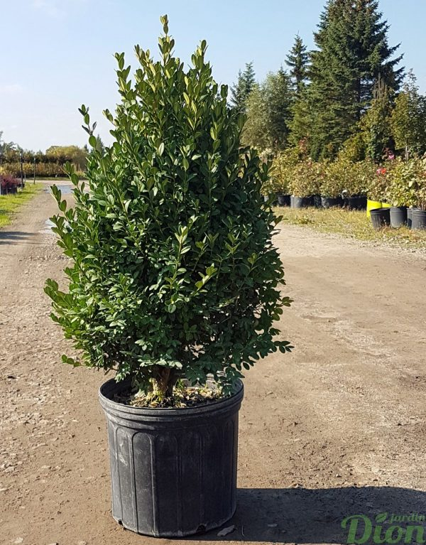 Buxus pyramidal 'Green mountain'