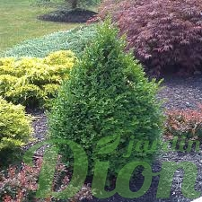 buxus.green-mountain.buis.jpg
