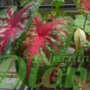 Caladium bicolor fam. Araceae