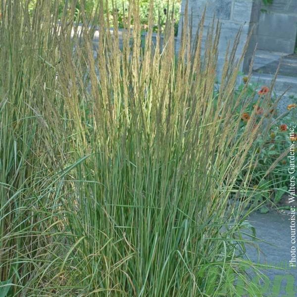 calamagrostis-a.avalanche.jpg