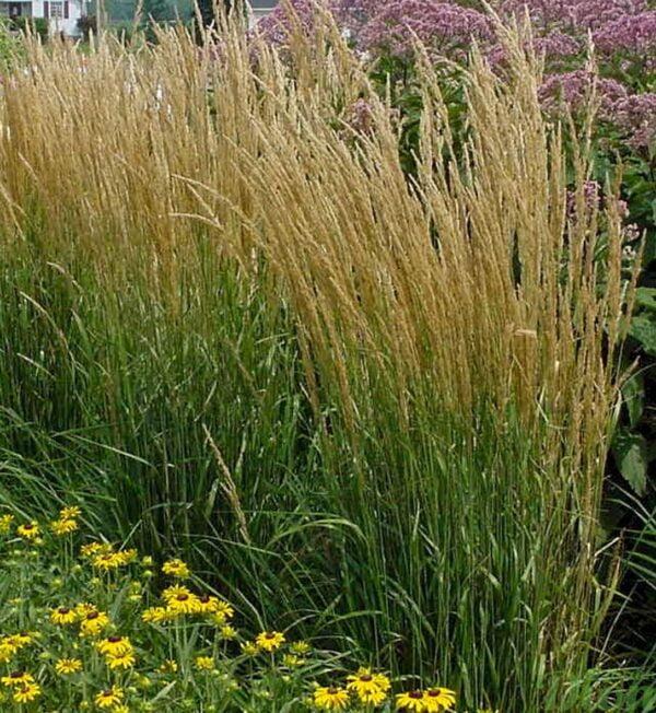 calamagrostis-a.karl-foerster.jpg