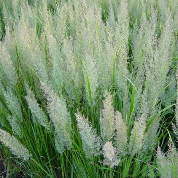 calamagrostis-brachytricha.jpg