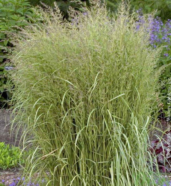 calamagrostis-eldorado.jpg