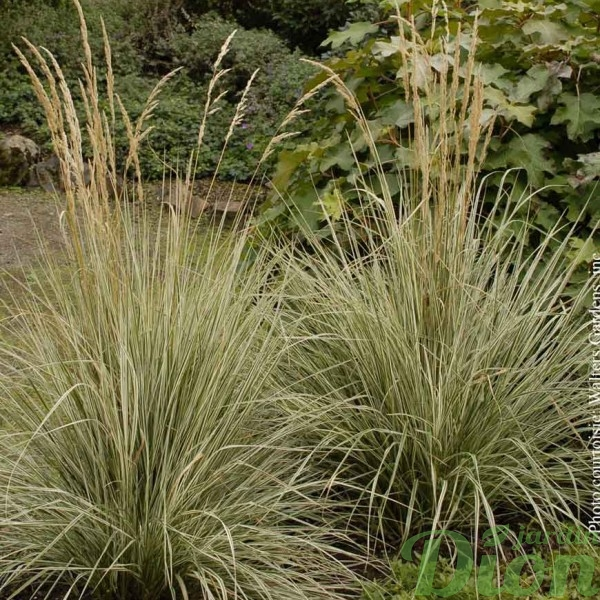 calamagrostis-overdam.jpg
