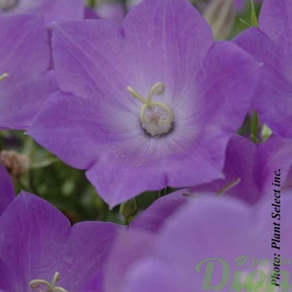 campanula-carpatica-blue-clips.jpg