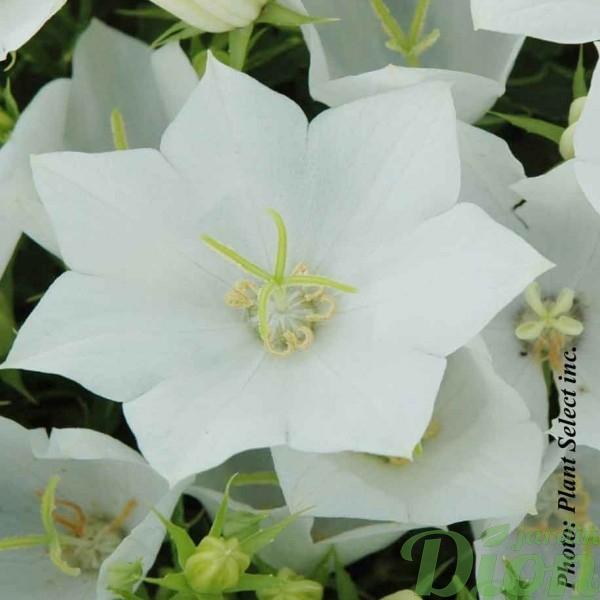 campanula-carpatica-white-clips.jpg