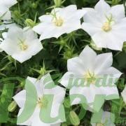 campanula-carpatica-white-clips-campanule-des-carpates