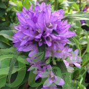 campanula-glomerata-acaulis-campanule-a-bouquets-3
