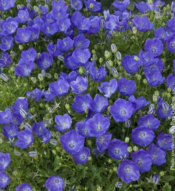 campanula-pearl-deep-blue.jpg