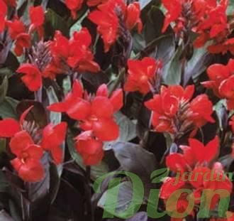 Canna australis