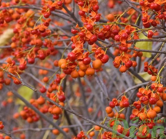 Celastrusscandens 'Autumn revolution' – Fruits