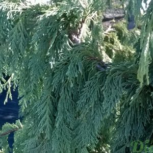 chamaecyparis-nootka-pendula-détail des ''feuilles'' (écailles)