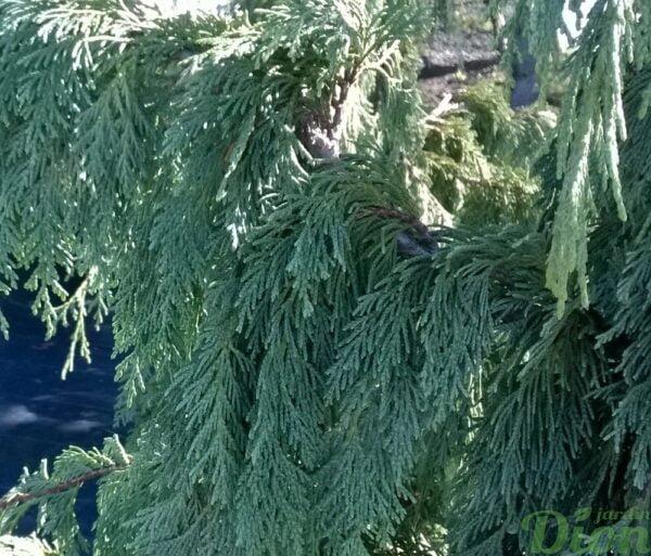 chamaecyparis-nootka-pendula-détail des »feuilles» (écailles)