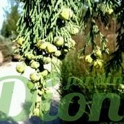 chamaecyparis-nootka-pendula-fruits