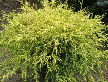 chamaecyparis.pisifera.filifera.aurea_.nana_.faux_.cypres.filifera.aurea.jpg