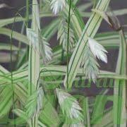 Épis (floraison)