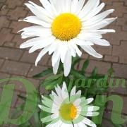 chrysanthemum-superbum-amelia-marguerite-3